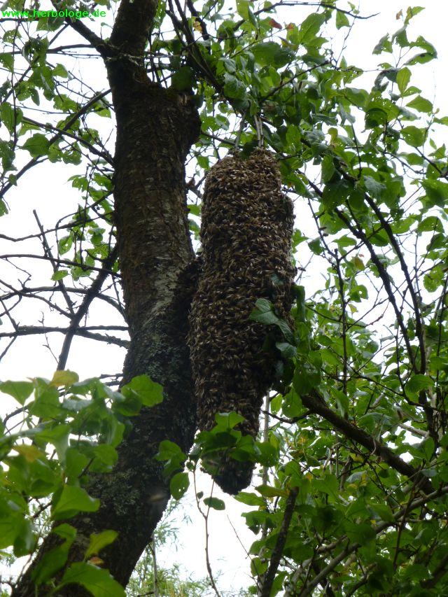 2016.5.17 Bienenschwarm