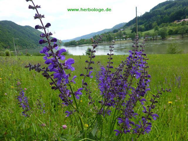 2016.5.23 wiesensalbei an der blauen Donau 2