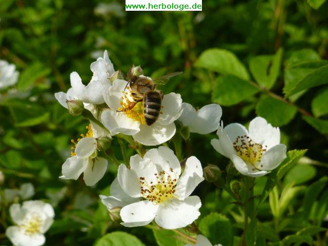 2016.6.12 Biene auf Wildrose