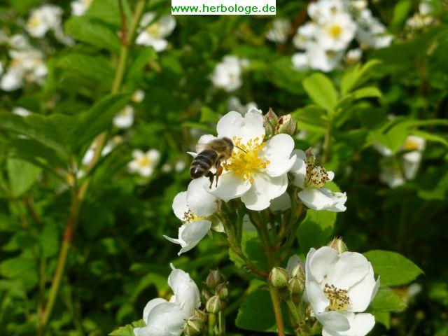 2016.6.12 Biene im Anflug