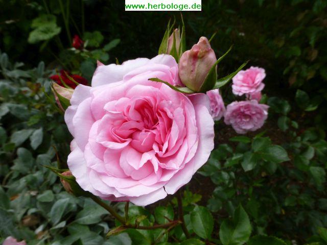 2016.6.27 rose