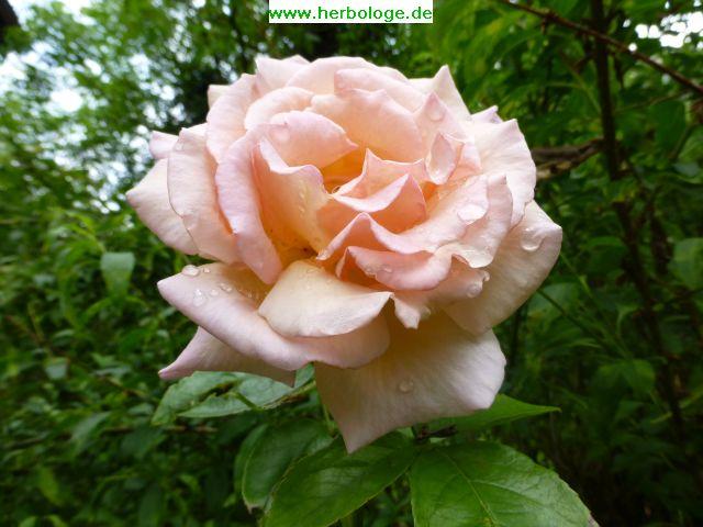 2016.6.28 Rose