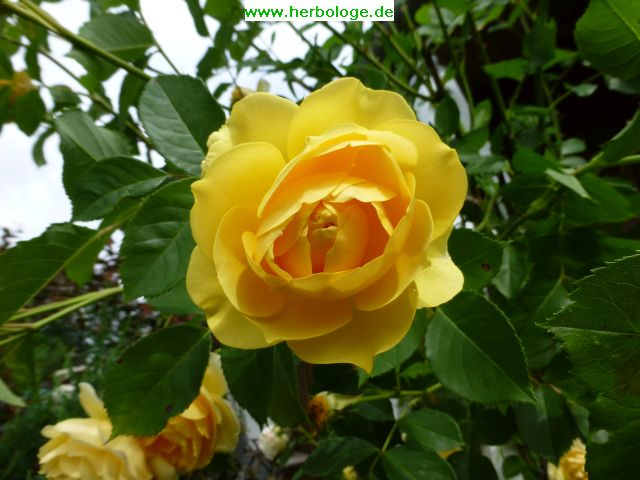 2016.6.28 gelbe rose